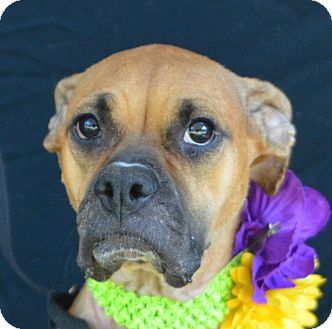 Boxer Mix Dog for adoption in Plano, Texas - Princess