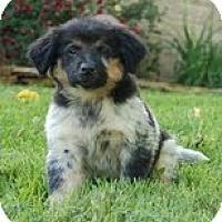 Adopt A Pet :: Maui - Staunton, VA