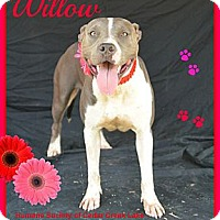 Adopt A Pet :: Willow - Plano, TX