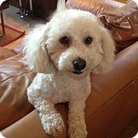Adopt A Pet :: Dudley - non shed! - Phoenix, AZ