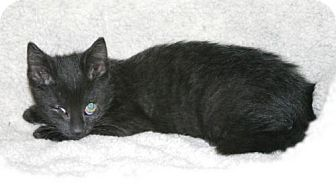 Domestic Shorthair Kitten for adoption in Frankenmuth, Michigan - StellaLuna'sLegacy