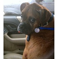 Boxer Dog for adoption in Hurst, Texas - Buffy