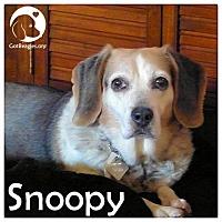 Adopt A Pet :: Snoopy - Novi, MI