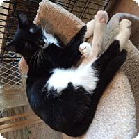 Domestic Shorthair Kitten for adoption in Alamo, California - Charlotte