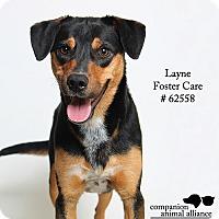 Adopt A Pet :: Layne (Camp Bow Wow) - Baton Rouge, LA