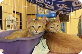 Domestic Shorthair Kitten for adoption in Louisville, Kentucky - Misty