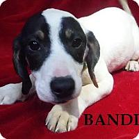 Adopt A Pet :: Bandit - Batesville, AR