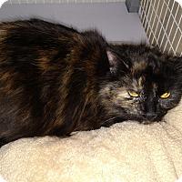 Adopt A Pet :: Bella - Plainville, MA