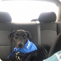 Adopt A Pet :: Mimi - Palatine/Kildeer/Buffalo Grove, IL