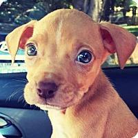 Adopt A Pet :: Graham - Charlotte, NC