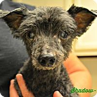 Adopt A Pet :: Shadow - PT ORANGE, FL