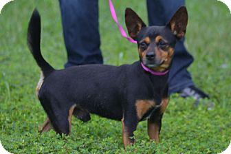Miniature Pinscher/Chihuahua Mix Dog for adoption in Lebanon, Missouri - Mickey