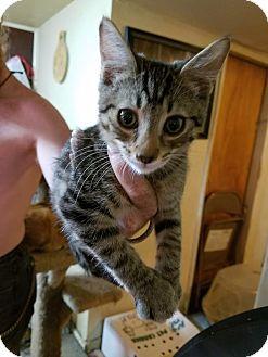 Domestic Shorthair Kitten for adoption in Walla Walla, Washington - Arthur