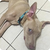 Labrador Retriever Mix Dog for adoption in Pearland, Texas - Iris