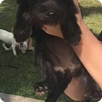 Adopt A Pet :: Maya - Aurora, CO