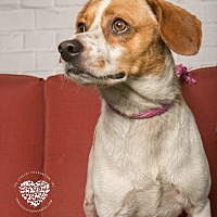 King Charles Spaniel/Beagle Mix Dog for adoption in Inglewood, California - Pie