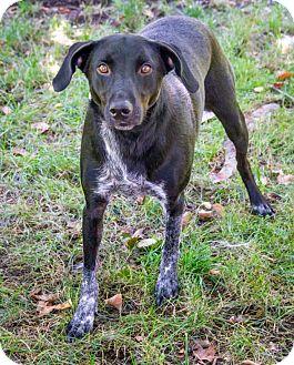 Labrador Retriever/Spaniel (Unknown Type) Mix Dog for adoption in Enfield, Connecticut - Inglebert