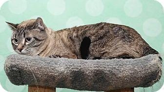 Domestic Shorthair Cat for adoption in Chippewa Falls, Wisconsin - Stella3