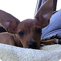 Chihuahua Mix Puppy for adoption in Chantilly, Virginia - Loveable Chi Louie