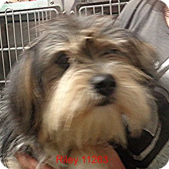 Cairn Terrier/Shih Tzu Mix Dog for adoption in Alexandria, Virginia - Riley