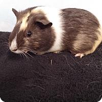 Adopt A Pet :: Julihamm - Aurora, CO