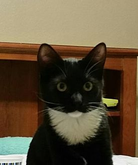 Domestic Shorthair Cat for adoption in Chino, California - Jordan