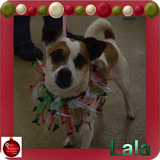 Jack Russell Terrier/Chihuahua Mix Dog for adoption in Washington, Pennsylvania - Lala