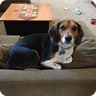Beagle Dog for adoption in Doylestown, Pennsylvania - Mystic