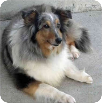 Sheltie, Shetland Sheepdog Dog for adoption in Mission, Kansas - Lily Marlene