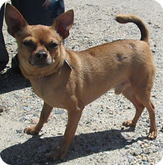 Chihuahua Dog for adoption in Forked River, New Jersey - Sebastian