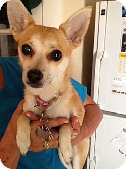 Chihuahua/Pomeranian Mix Dog for adoption in Richmond, Virginia - Bella
