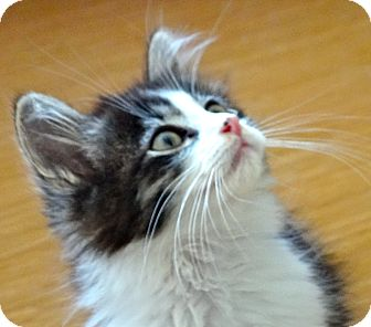 Maine Coon Kitten for adoption in Escondido, California - Zander
