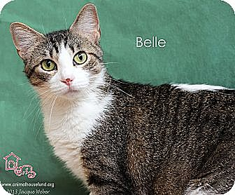 Domestic Shorthair Cat for adoption in St Louis, Missouri - Belle