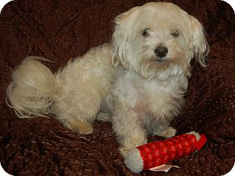 Maltese Dog for adoption in Hazard, Kentucky - Marty