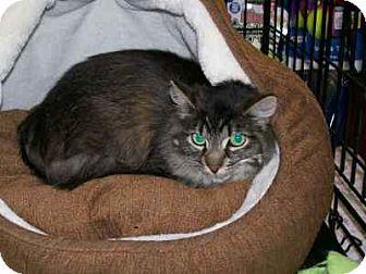 Domestic Mediumhair Cat for adoption in Alamo, California - Leila