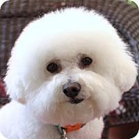 Adopt A Pet :: Sophia - La Costa, CA