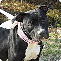 Staffordshire Bull Terrier Mix Dog for adoption in Princeton, Kentucky - Bashful