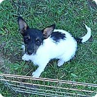 Adopt A Pet :: maisy - cameron, MO