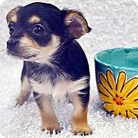 Adopt A Pet :: Latte-Adoption pending - Bridgeton, MO