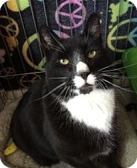 Domestic Shorthair Cat for adoption in Raritan, New Jersey - Henry