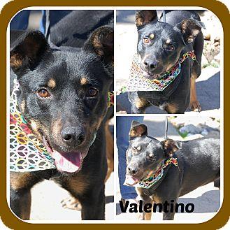 German Shepherd Dog/Rottweiler Mix Dog for adoption in Malvern, Arkansas - VALENTINO
