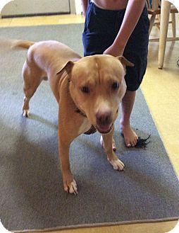American Pit Bull Terrier Dog for adoption in Saranac Lake, New York - Yager (Courtesy Posting)