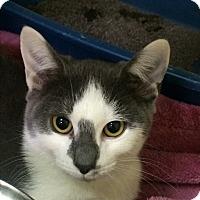 Adopt A Pet :: Popeye - Richboro, PA