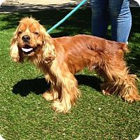 Cocker Spaniel Dog for adoption in Temecula, California - Oliver