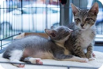 Domestic Shorthair Kitten for adoption in New York, New York - Oliver