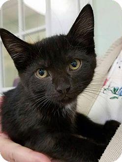 Domestic Shorthair Kitten for adoption in Parma, Ohio - Tiana