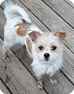 Jack Russell Terrier/Chihuahua Mix Dog for adoption in O'Fallon, Missouri - Pickles