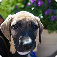 Boxer/Shepherd (Unknown Type) Mix Puppy for adoption in New York, New York - Litter of Boxer/Shep Pups! (6)