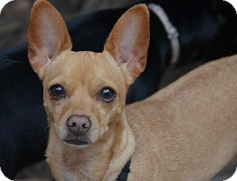 Chihuahua Dog for adoption in Marina Del Ray, California - CHIN-CHIN - video to view