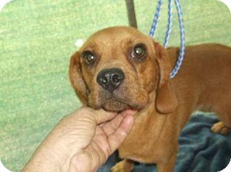 Pug/Beagle Mix Dog for adoption in Bonifay, Florida - Ruby Mae